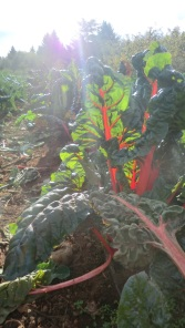 I & I Farm, organic rainbow chard